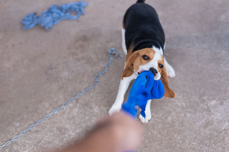cute puppy beagle playing with towel Pets Domestic Canine One Animal Dog Domestic Animals Mammal Human Body Part High Angle View Vertebrate Leash Pet Leash People Day Holding Selective Focus Looking Human Hand Pet Owner Outdoors Hand Small