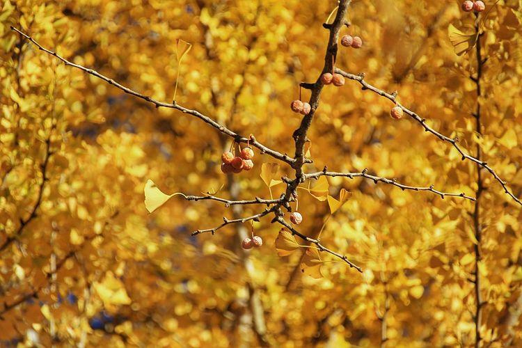 ここへは何回か一緒に行ったね。黄金の銀杏を一緒に見上げたかったな…。 Nature Autumn Tree Japan あなたと見隊 あなたを想う 想い出