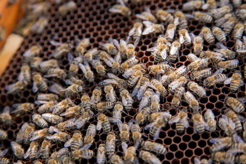 Abundance Animal Animal Themes Animal Wildlife Animals In The Wild APIculture Bee Beehive Close-up Food Food And Drink Group Of Animals Honeycomb Insect Invertebrate Large Group Of Animals Large Group Of Objects Nature No People Selective Focus