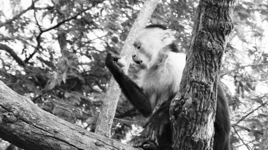 Monkey magic Costa Rica Guanacaste Animals in the Wild Monkeys monkey nature wildlife black and white capuchin white face mon Blackandwhite An Eye For Travel Monkey Magic Costa Rica Guanacaste  Animals In The Wild Monkeys Monkey Capuchin White Face Monkey Welcome To Black Art Is Everywhere The Great Outdoors - 2017 EyeEm Awards The Photojournalist - 2017 EyeEm Awards BYOPaper! BYOPaper! Black And White EyeEm Selects Guanacaste, Costa Rica Black & White Black And White Photography Pet Portraits Been There. Perspectives On Nature Go Higher The Great Outdoors - 2018 EyeEm Awards