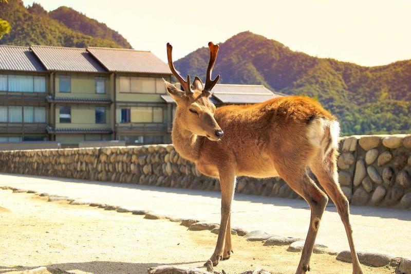 Antelope standing at roadside