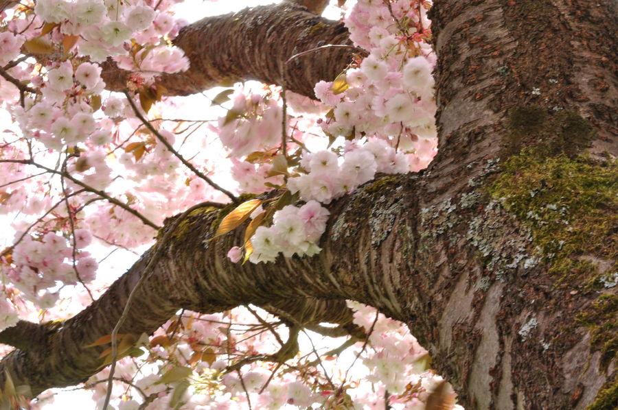 Bark Cherry Blossoms Low Angle View Sakura Twigs Blossom Freshness Low Angle View Ornamental Cherry Tree Prunus Serrulata Shirofugen Springtime Trunk