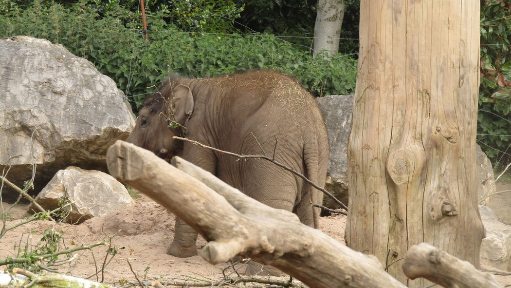 Asian Elephant Baby Elephant Chester Zoo Chesterzoo Elephant Elephants Mammal Nature No People Outdoors Zoo