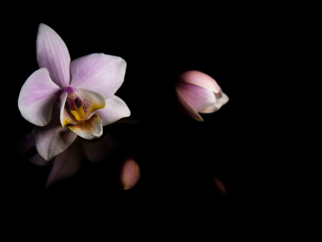 Flower Flowering Plant Fragility Freshness Petal Beauty In Nature Vulnerability  Plant Inflorescence Flower Head Studio Shot Black Background Close-up Nature Growth No People Pollen Indoors  Night Copy Space