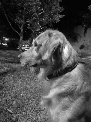 Blackandwhite Black And White Blackandwhite Photography Black & White Black And White Photography Blackandwhitephotography Goldenretriever Golden Retriever Goldenretrievers Goldenretrieversofinstagram Goldenretrieverpuppy Goldenretrieverlove Pets Dog Domestic Animals One Animal Animal Themes Close-up Mammal Field Animal Hair Animal Head  No People Tranquility Loyalty