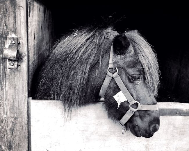 Animal Themes Mammal One Animal Domestic Animals Horse Livestock No People Day Pets Close-up Outdoors Black Pony Pony Pony In Stable Stable Black And White Black And White Photography Monochrome Photography