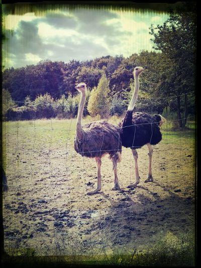 Ostrich Animals At The Ostrich Farm