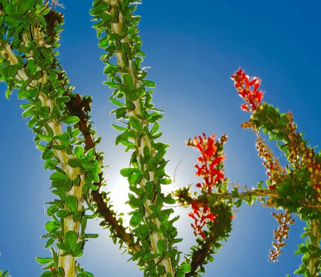 Blooming Ocotillo Beauty In Nature Low Angle View Growth Clear Sky Outdoors Flower Close-up Desert Beauty Desert Bloom Desert Plants Cactus Ocotillo Cactus