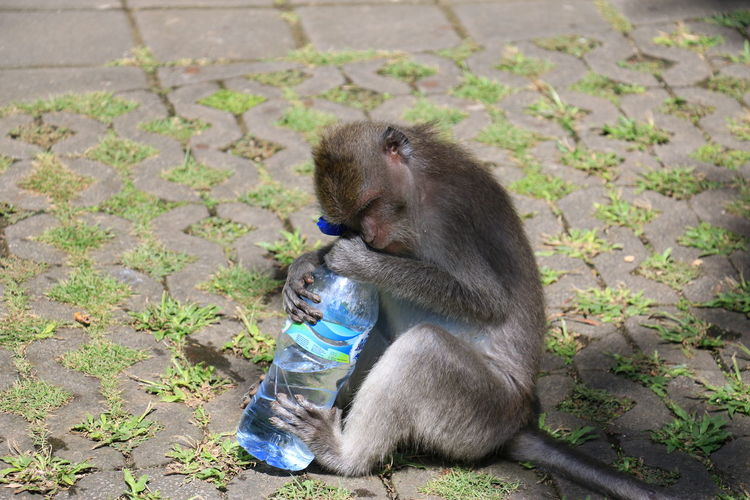 View of monkey with water bottle