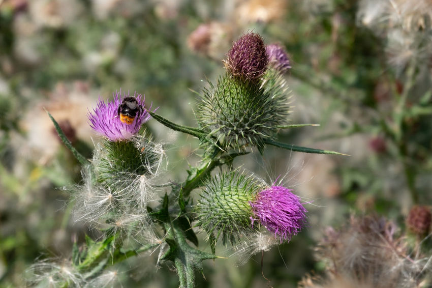 Beauty In Nature Close-up Day Flower Flower Head Flowering Plant Focus On Foreground Fragility Freshness Growth Inflorescence Nature No People Outdoors Petal Pink Color Plant Pollination Purple Thistle Vulnerability