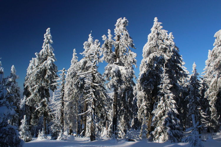 winter impressions of Nationalpark Harz Cold Temperature Snow Winter Nature Harz Brocken Trees Barks Of A Tree Plant Sky Tree Scenics - Nature No People Beauty In Nature Tranquil Scene Land Tranquility Blue Frozen Clear Sky White Color Forest Pine Tree Coniferous Tree Fir Tree