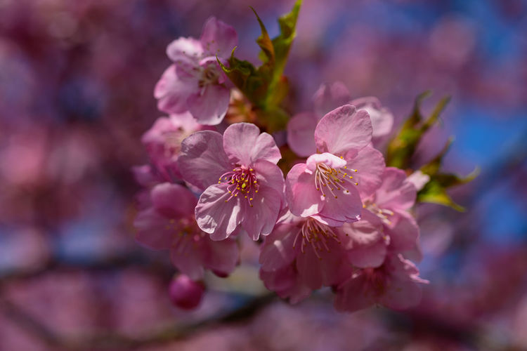 Flower Flowering Plant Plant Beauty In Nature Freshness Fragility Growth Close-up Pink Color Vulnerability  Nature No People Springtime Petal Blossom Inflorescence Selective Focus Flower Head Outdoors Tree Pollen Cherry Tree Cherry Blossom Bunch Of Flowers Kawazu-zakura