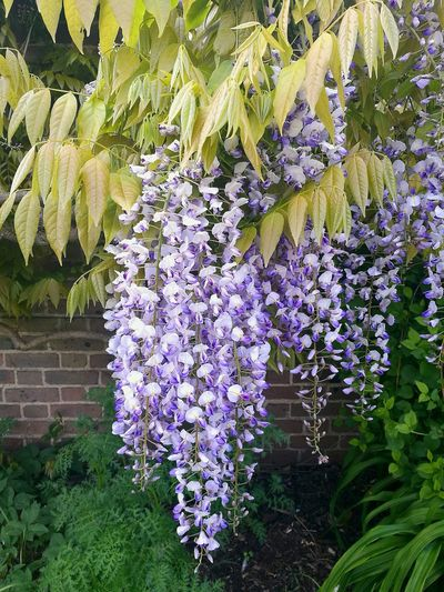 Spring Springtime Wisteria Wisteria Trellis Wisteria Against Building Hanging Flower Flowers Growth Plant Nature Freshness Outdoors Abundance Close-up Garden Flowers On The Wall Spring Flowers Wall And Flowers P9 Huawei Plants And Garden Garden Flowers Garden Wall Wisteria Flowers Nature_collection