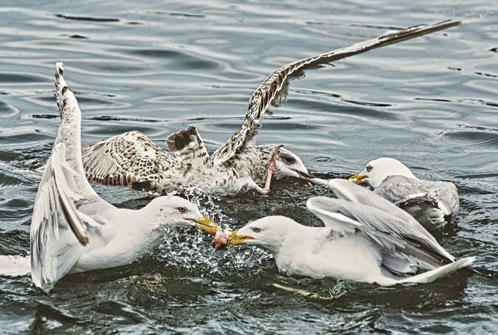 Beaks Controversy Feathers Fight Seagulls Animal Themes Animal Wildlife Animals In The Wild Bird Birds Close-up Feed  Food High Angle View Möwen Nature Outdoors Quarrel Sea Spread Wings Swimming Togetherness Water Waterfront