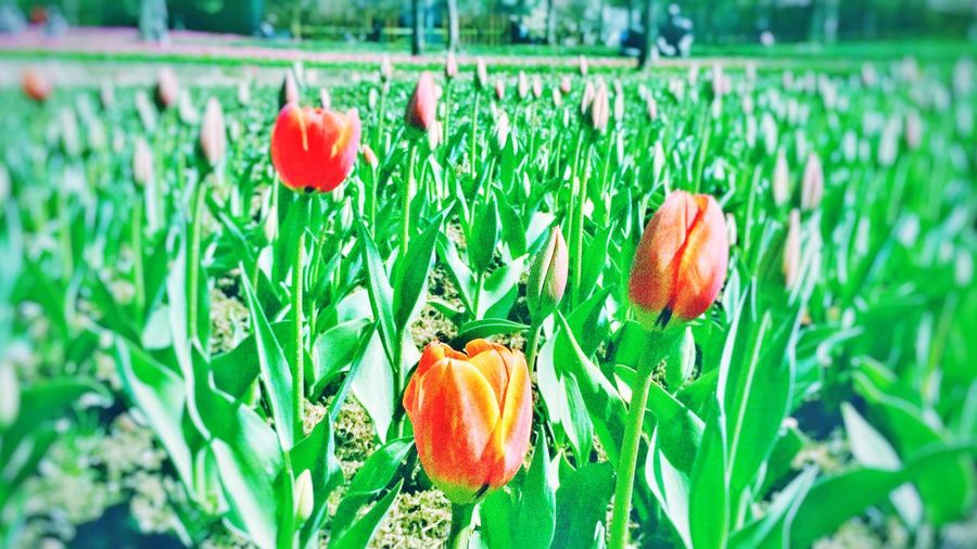 Tulips Flower Nature Beauty In Nature Plant Petal Freshness Blooming Flower Head Field Leaf Tulip Outdoors Day Park