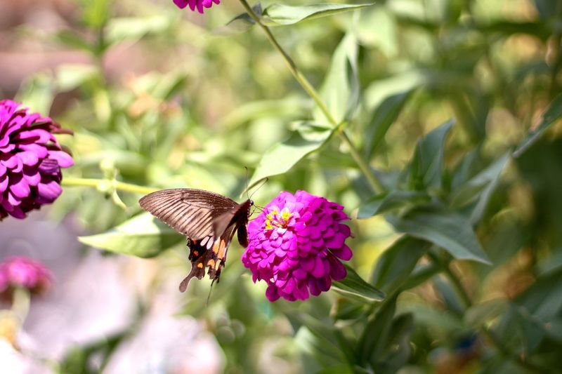 Butterfly Island Zinnia in the flower garden Butterfly Island Zinnia In The Flower Garden Flower Flowering Plant Animal Themes Animal Animal Wildlife Plant Insect Beauty In Nature Animals In The Wild Invertebrate Flower Head Freshness Fragility Growth One Animal Vulnerability  Petal Close-up Pollination Animal Wing