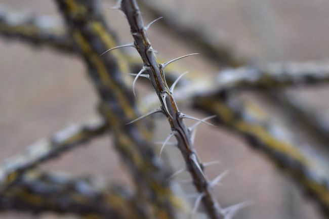 Bokeh Photography Macro Bokeh Desert Plants Desert Plant Life Ocotillo Cactus Arizona