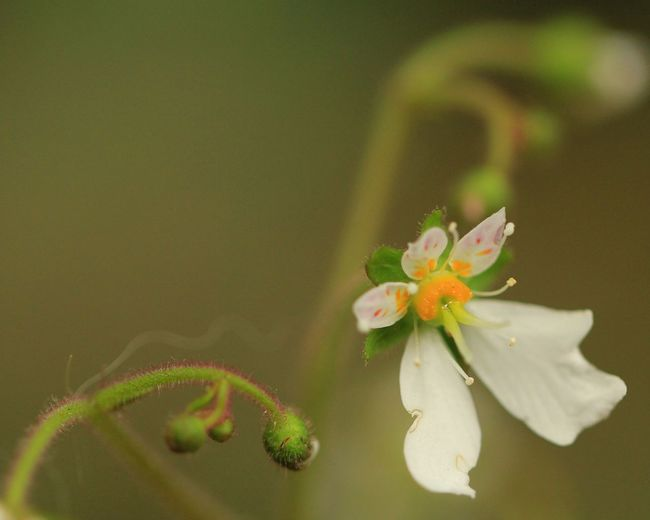 ユキノシタ アップ ユキノシタ 野草 Wildflower Macro Photography Botany Green Flower Head Flower Springtime Close-up Plant Green Color In Bloom