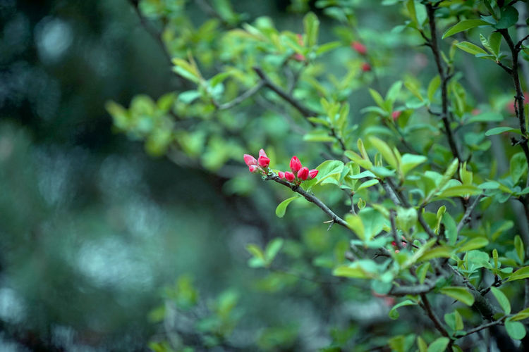 Infront of my apt., small green trees show tiny red flowers. It was so catching. Red Flower 70200f28isii A7m2