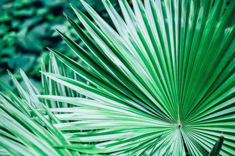 Saribus rotundifolius. Round-leaf fountain palm or footstool palm. Anahaw is the national leaf of the Philippines. Backgrounds Beauty In Nature Close-up Copy Space Fan Foliage Footstool Palm Freshness Frond Full Frame Green Color Growth Leaf Leaves Nature Outdoors Palm Leaf Palm Tree Palmae Plant Saribus Rotundifolius Selective Focus Southeast Asia Tree Tropical Springtime Decadence