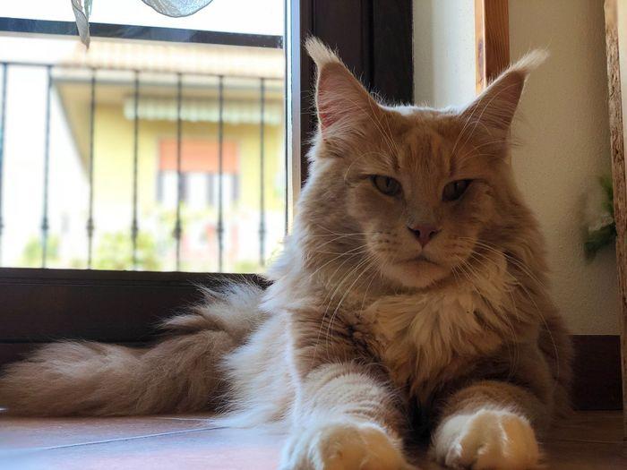 Il re di casa Mainecoon Animal Themes Animal Mammal Cat One Animal Feline Vertebrate Pets Domestic Cat Domestic Animals No People