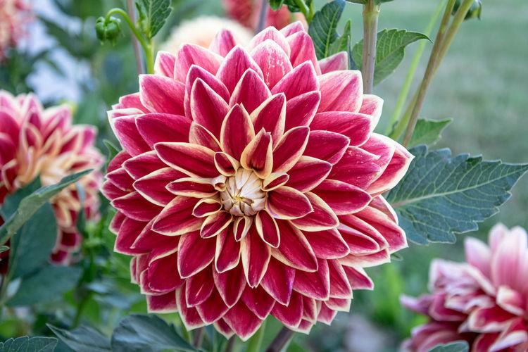 Beauty In Nature Botany Dahlia Dahlia Flowers Dahlia Géant Flower Flower Head Flowers Petal Plant