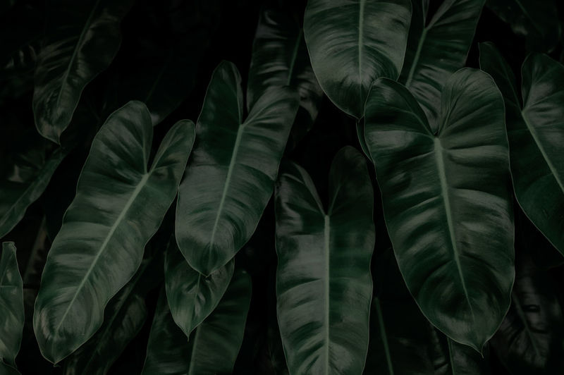 Dense dark green leaves in garden at night. green leaf texture. ornamental plant. green leaves.
