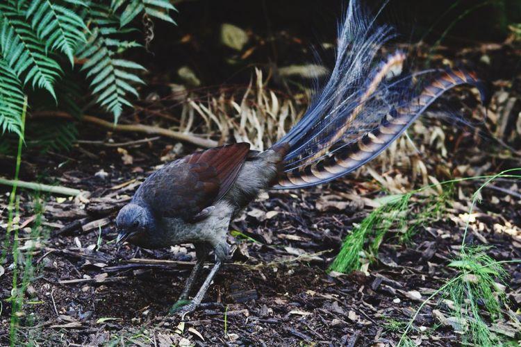 Lyrebird Australia EyeEm Birds EyeEm Animal Lover Birds Bird Photography Beautiful