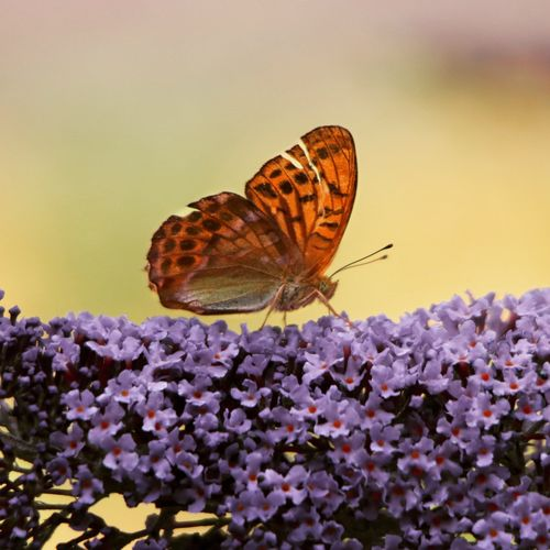 Close-Up Of Orange Butterfly Perching On Purple Flowers