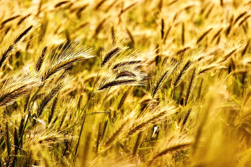 Growth Plant Beauty In Nature Nature Crop  No People Close-up Cereal Plant Green Color Backgrounds Agriculture Landscape Field Land Full Frame Tranquility Sunlight Outdoors Wheat Day