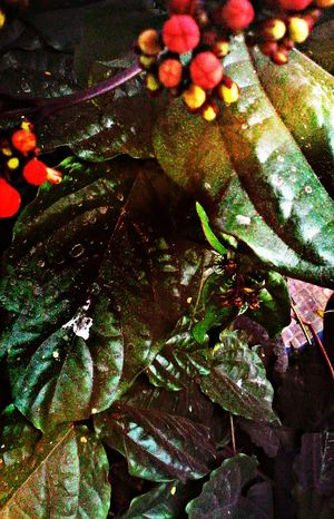 Taking Photos Check This Out Leafy Greens Leafs Colors Leafy Goodness Leafs Photography Leaf Fantasy Leaf 🍂 HDR Effect The Week Of Eyeem My Best Photo 2016 Mobile_photographer Flower#garden#nature#ecuador#santodomingoecuador#eyeEmfollowers#iphoneonly#nofiltrer#macro_gardenprettybeautifulfollowmesho [ [a:8597034] Autumn Leafs Macro Beauty Nature_collection EyeEm Nature Lovers NatureImage Overlaying Maskingbeauty Lighting Decoration Lighting Effects