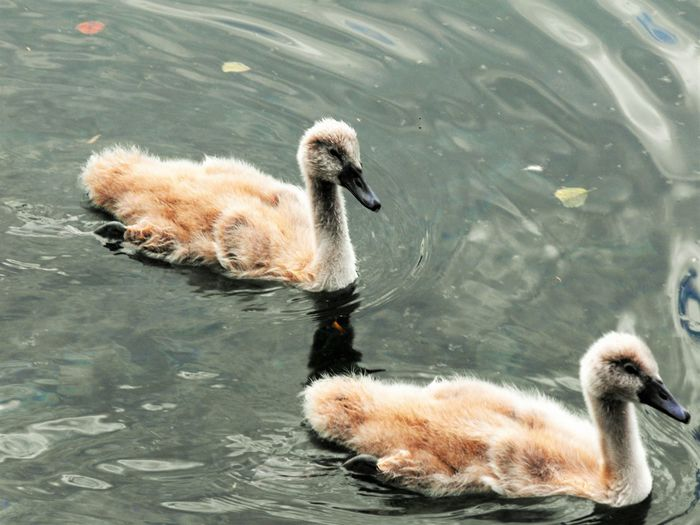 High Angle View Of Cygnets Swimming In Lake