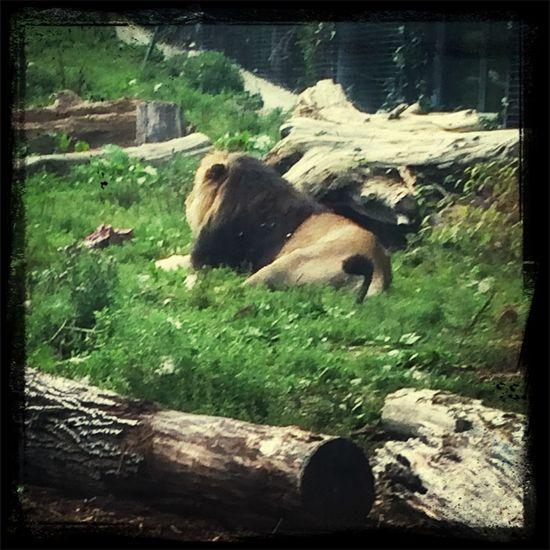 Zoo Chessington World Of Adventures Lion