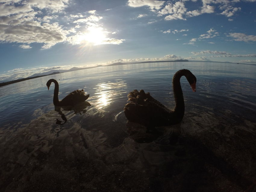 Animals In The Wild Beauty In Nature Horizon Over Water Lake Taupo Nature New Zealand Outdoors Reflection Scenics Sunset Swan Swimming Tranquil Scene Tranquility Water