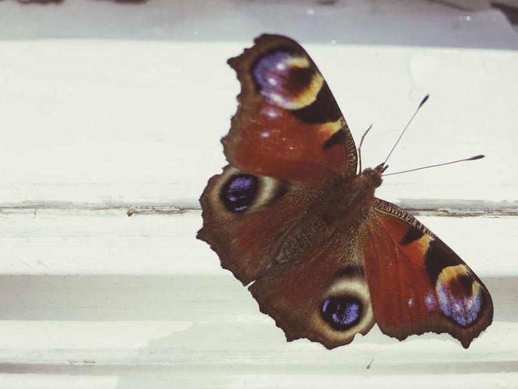 Butterfly Butterfly ❤ Butterfly Macro Peacockbutterfly Pfauenauge White Window
