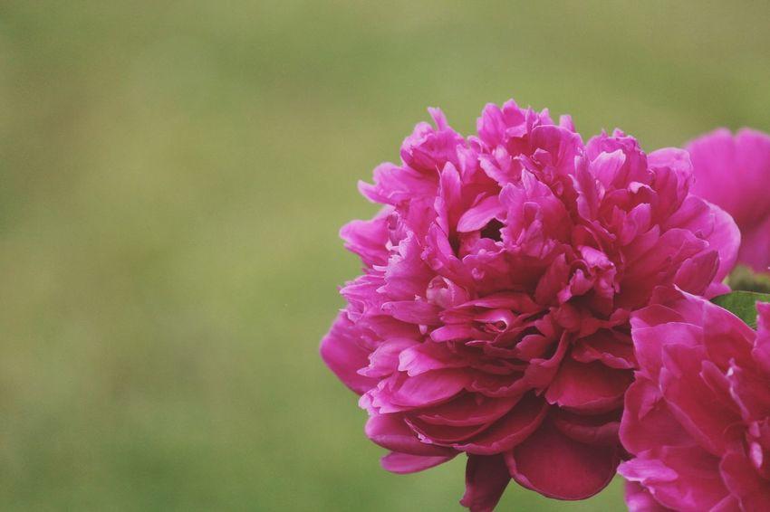 Peony  Flowers Flower Plant Plants Nature Nature Photography Murfreesboro Tennessee