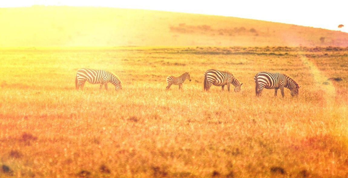 A setting sun on the plains of Ol Pejeta Olpejeta Plains Zebra EyeEm EyeEm Best Shots Bestoftheday Goldenhour Goldenhourphotography Sunset Sunset_collection Africananimals Africa Kenya Travel Travel Photography Exploring Whywait