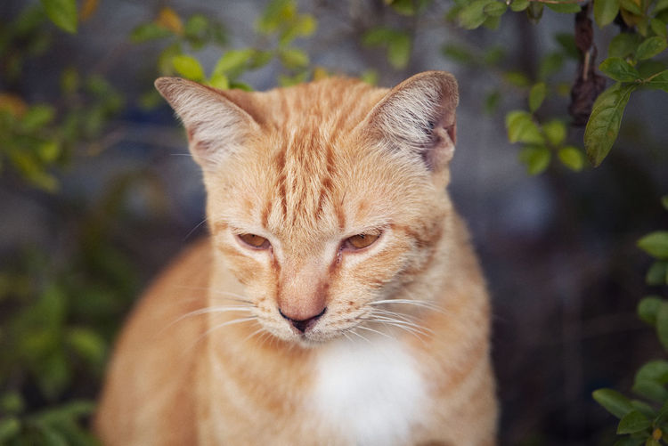 Close-up portrait of ginger cat outdoors