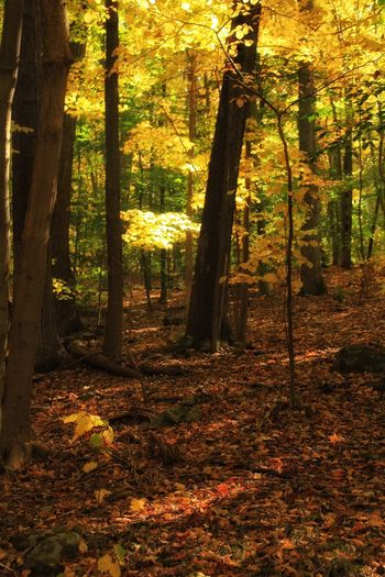 Beauty In Nature Forest Foliage Glowing Vibrant Color Autumn Leaves Warmthandsunshine Feel The Sun Photography