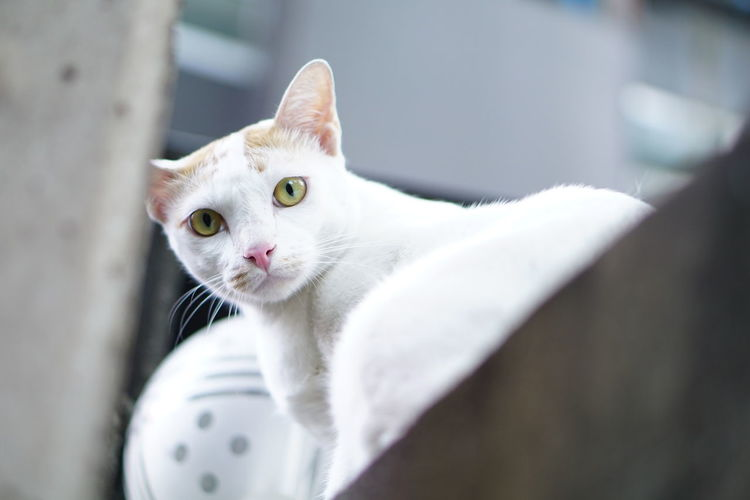 EyeEmNewHere Domestic Cat Pets Domestic Animals Animal Feline Eye Kitten Portrait One Animal Cute Animal Themes Ear No People Mammal Indoors  Collar Day Close-up Looking At Camera Pink Lips Pink Nose Cat White Cat Stranger