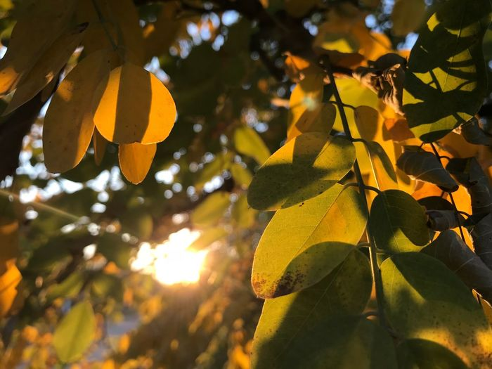 Acacia Acacia Tree Sunlight Yellow Flower Yellow Leaves Autumn Beauty In Nature Branch Close-up Day Fall Freshness Growth Leaf Leaves Low Angle View Nature No People Outdoors Outdoors Photograpghy  Sky Sunlight Sunset Tree Yellow