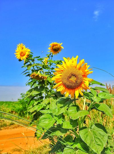 ดอกทานตะวัน Flower Plant Flower Head Nature Beauty In Nature Growth Blue Outdoors Sky Uncultivated No People Landscape Fragility Freshness Sunflower Close-up Summer Desert Day Scenics first eyeem photo