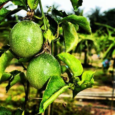 Buah Asterinasazalie Beautiful Biji hijau fruit nice lovely