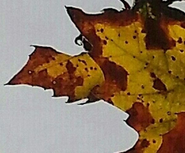 Maximum Closeness Textured  Yellow Rusty Close-up Abstract Fall Leaf Nature Outdoors Jaggededge