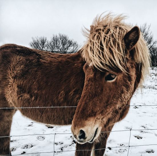 Animal Themes Brown Close-up Cold Temperature Day Domestic Animals Field Horse Iceland Icelandic Horse Livestock Mammal Nature No People One Animal Outdoors Sky Snow Winter