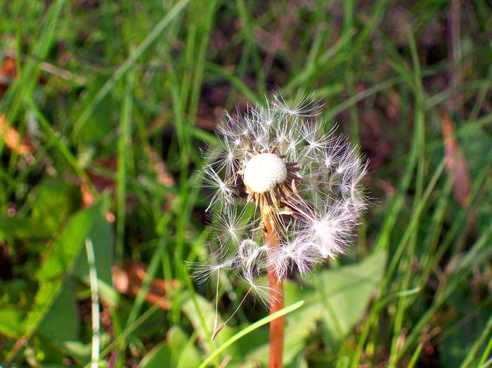 The job is almost finished for this dandelion. Beauty In Nature Cast To The Wind Close-up Dandelion Dandelion Fluff Dandelion Fluff Flying Day Done Flower Flower Head Focus On Foreground Fragility Freshness Grass Growth Nature No People Outdoors Plant Thistle Uncultivated Wildflower Windblown