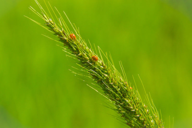 Close-up of ladybugs on wheat