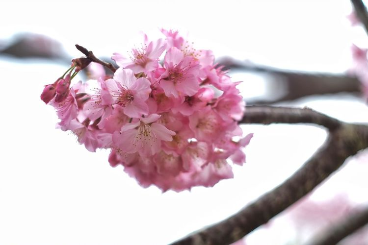 Flower Pink Color Nature Petal Flower Head Freshness Beauty In Nature Close-up Fragility Springtime Blossom Branch Growth No People Day Outdoors White Background Taiwan 臺灣 恩愛農場