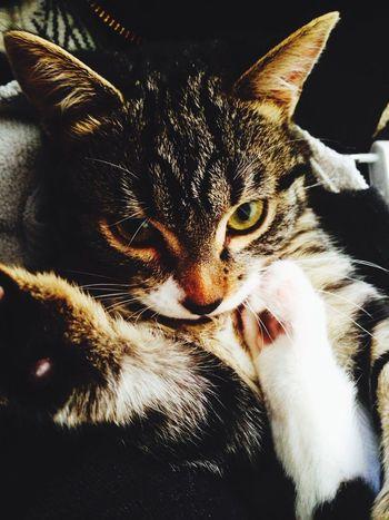 Mon chat Chat Animals