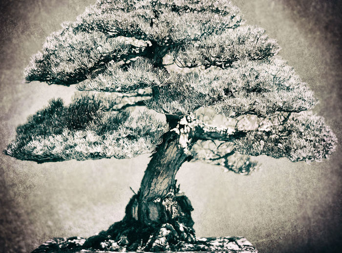 Tree Tranquility Bonsai Tree Bonsai Blackandwhite Sepia Sepia_collection